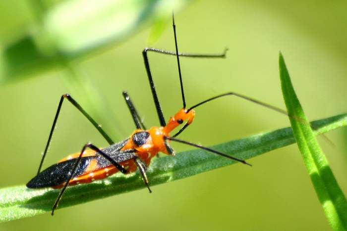 Image result for Assassin Bug