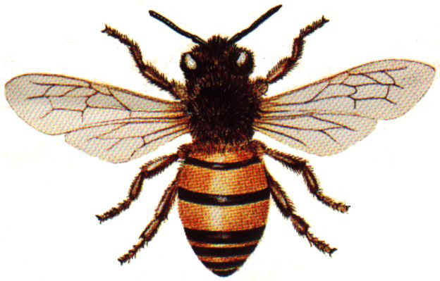 complex flight of the honey bee bio aerial locomotion