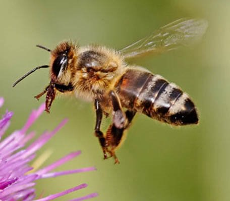 What makes honey bees aggressive  Honey Bee Suite