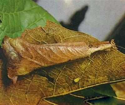 Insect camouflaged behind a leaf